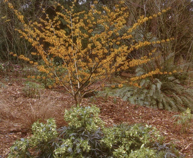 Hamamelis x intermedia 'Orange Beauty' above Helleborus foetidus in the Witt Winter Garden, Washington Park Arboretum