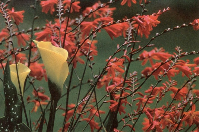 Crocosmia 5 crocosmiiflora with a yellow calla (Zantedeschia)