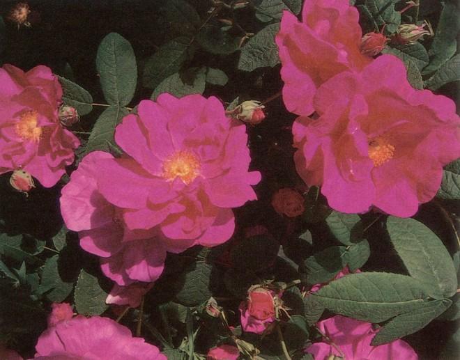 The apothecary rose (Rosa gallica 'Officinalis')