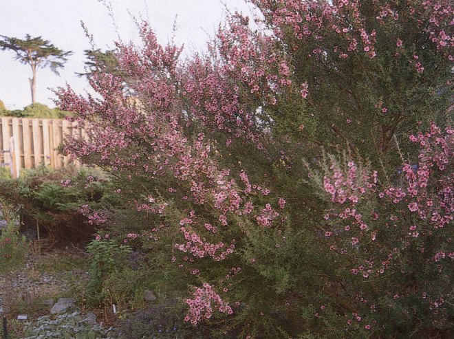 Leptospermum scoparium 'Helene Strybing' with a ubiquitous Monterey cypress in the distance