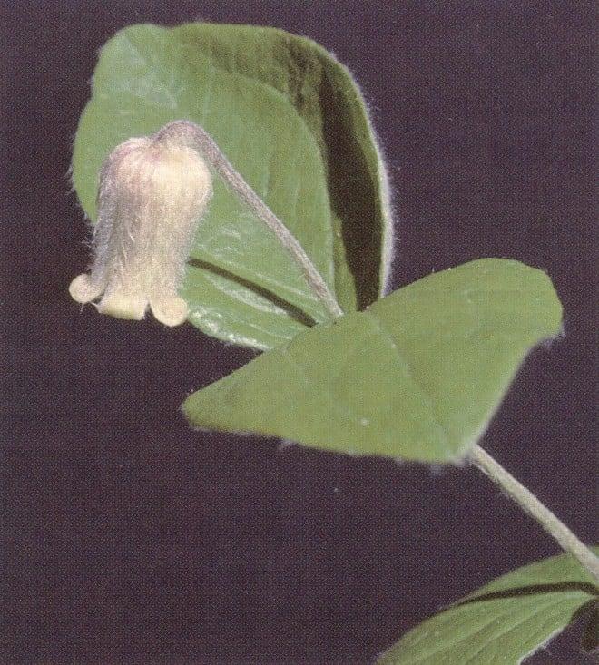 Clematis ochroleuca