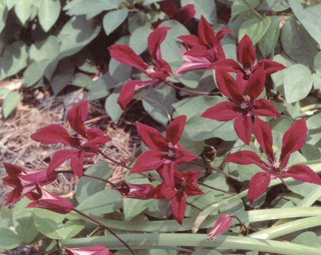 Clematis 'Gravetye Manor'. Photographs by Pamela Harper, except as noted