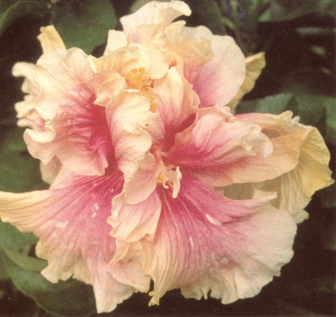 Hibiscus 'Amber Suzanne'