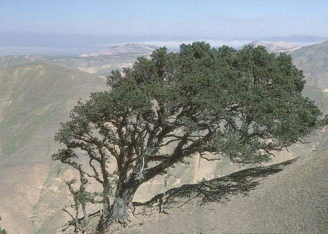 A wind-shaped island oak (Quercus tomentella) on Santa Rosa Island. Photographs by Steve Junak