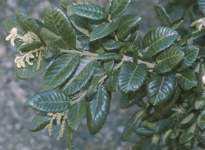 Leaves and catkins of island oak (Quercus tomentella)