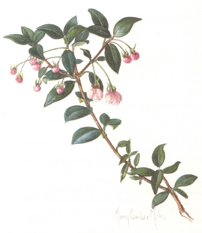 Chilean guava (Ugni molinae). Watercolor paintings by author