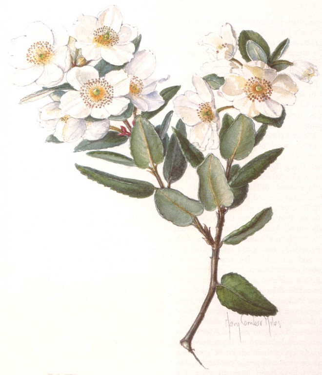 Eucryphia cordifolia. Watercolor paintings by author