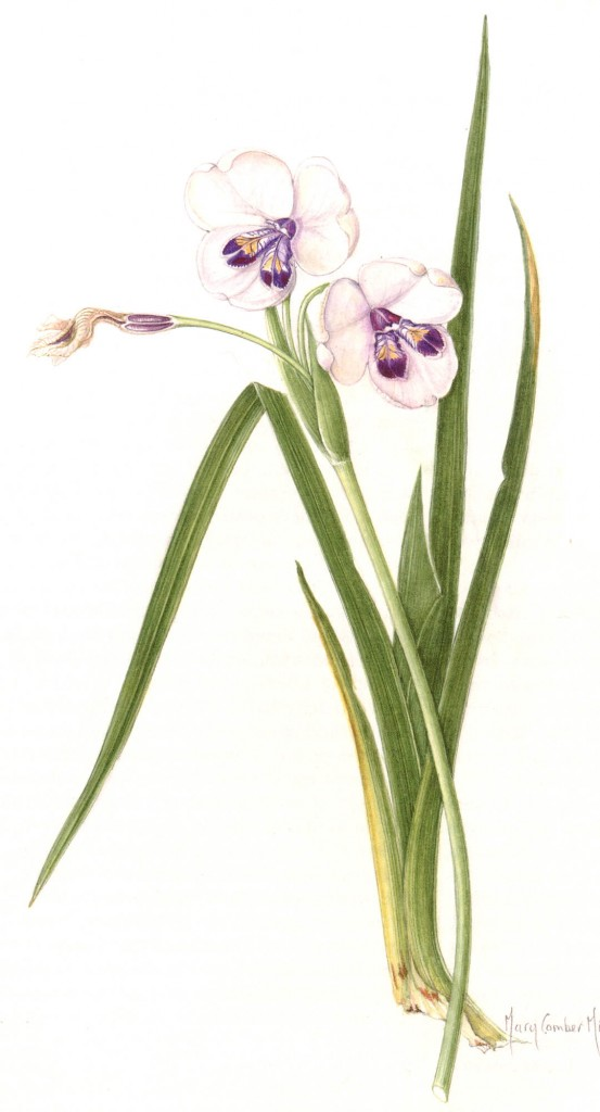 Diplarrhena latifolia