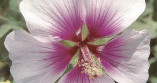 Lavatera maritima. Photographs by Mike Larson