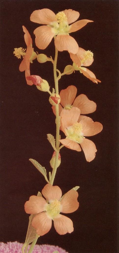 A globe mallow (Sphaeralcea incanum)