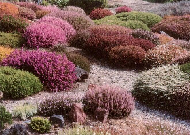 The Davis garden enchants with the diversity of heathers (Calluna vulgaris cultivars) flowering together