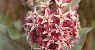 Showy milkweed (Asclepias speciosa). Photographs by Bobby Gendron