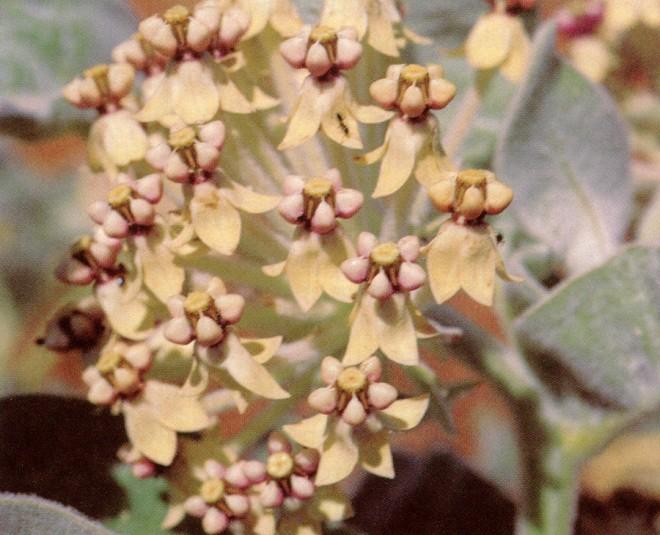 Indian milkweed (Asclepias eriocarpa)
