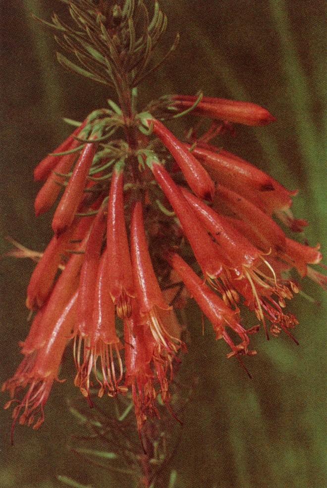 Erica grandiflora