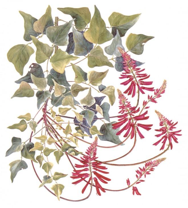 Neill's coral tree (Erythrina x neillii)