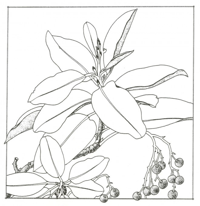 Madrone (Arbutus menziesii). Drawing by Mimi Osborne