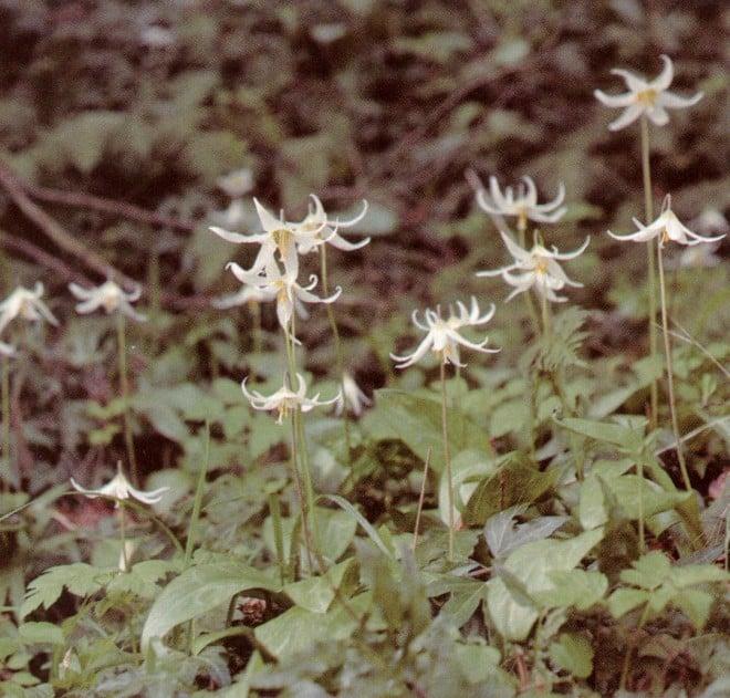 Easter lily, or white fawn lily (Erythronium oregonum)