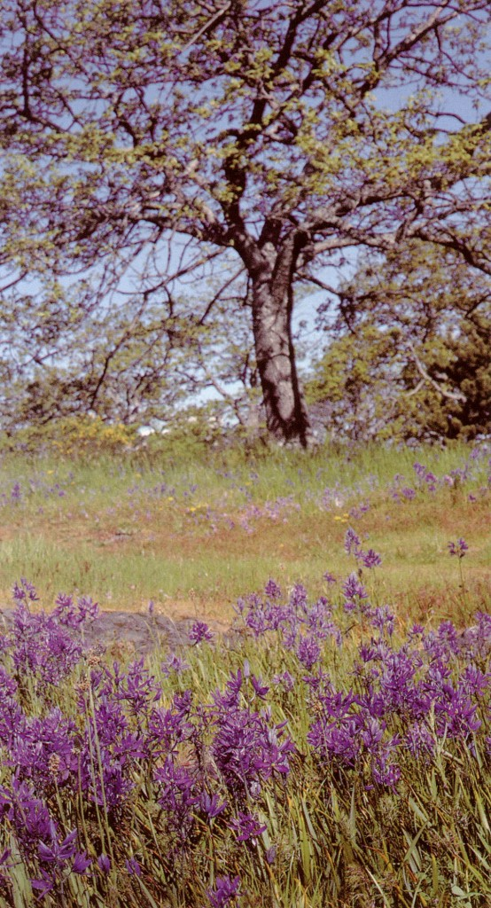 A typical Garry oak meadow with common camas (Camassia quamash) in full bloom
