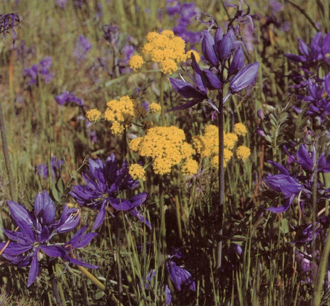 Common camas (Camassia quamash) and sping gold (Lomatium utriculatum)
