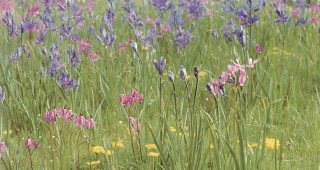 Spring peak in a Garry oak meadow, with common camas (Camassia quamash), shooting stars (Dodecatheon hendersonii), and spring gold (Lomatium utriculatum). Author's photographs