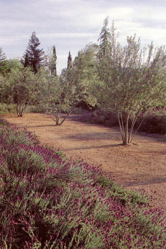 The olive grove with Spanish lavender (Lavandula stoechas) and a mix of conifers rising beyond