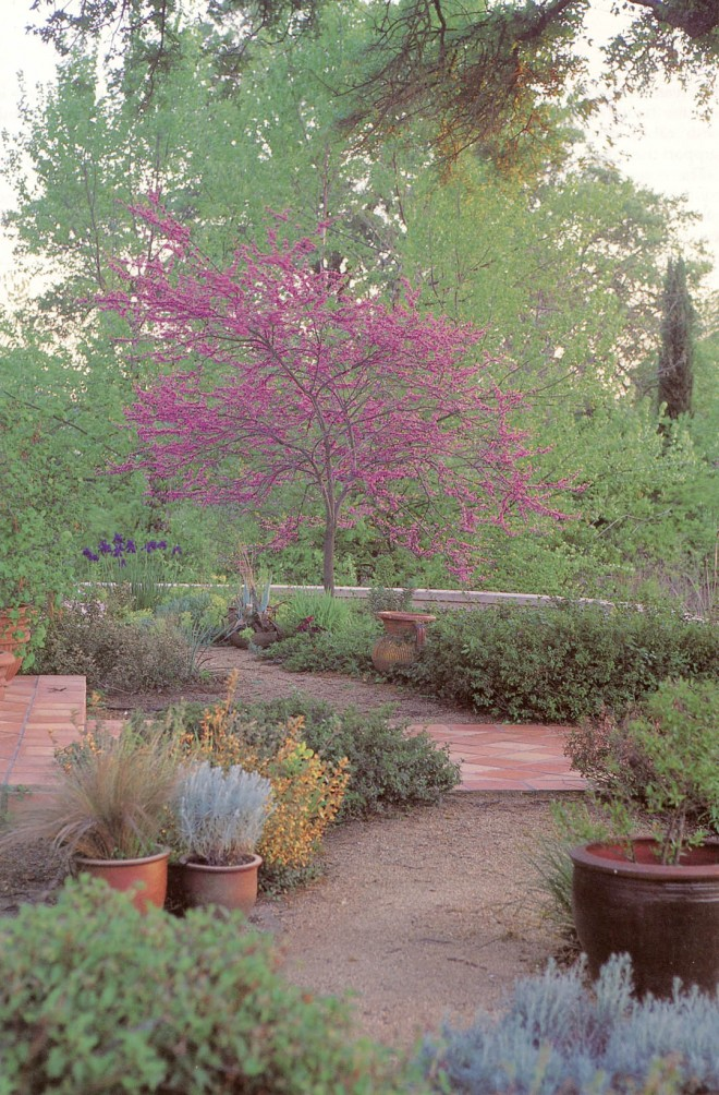 Eastern redbud (Cercis canadensis) at the porch