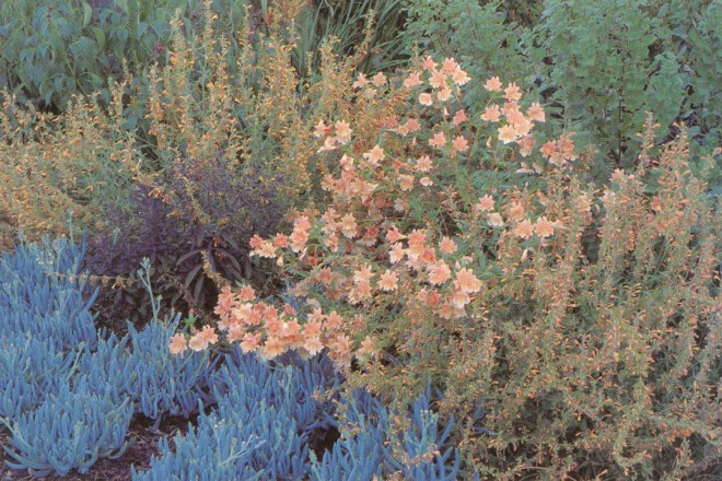 A favorite composition of blue-leafed Senecio madraliscae, Agastache 'Apricot Sunrise', and a hybrid monkey flower (Mimulus)