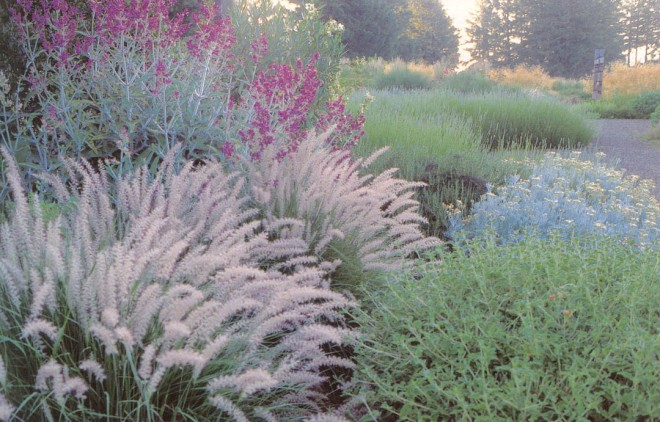 The dependable Oriental fountain grass (Pennisetum orientale) adds movement to a composition with Canary Island sage (Salvia canariensis) and masses of lavender (Lavandula x intermedia 'Provence')