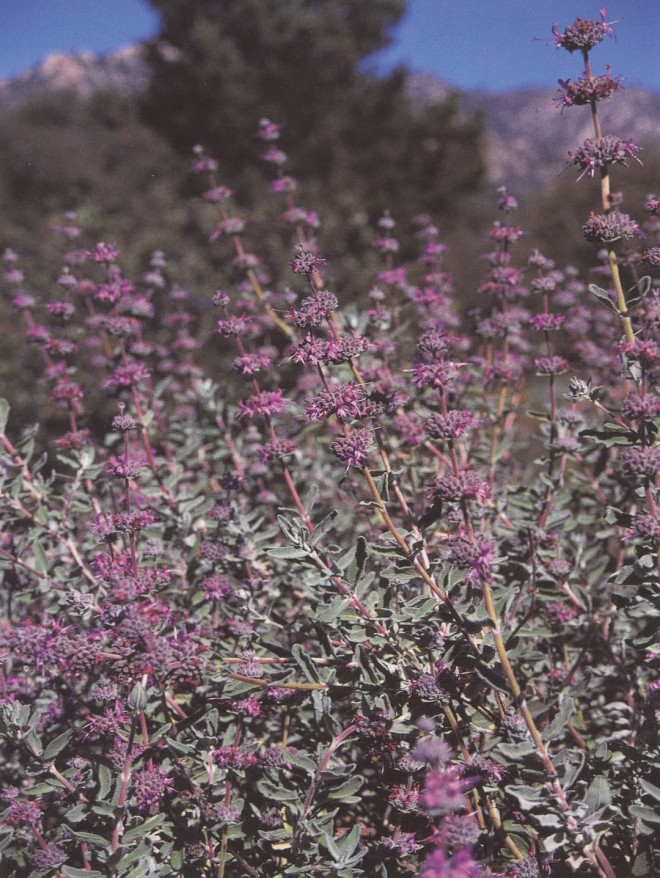 Salvia leucophylla 'Amethyst Bluff'. Author's photograph
