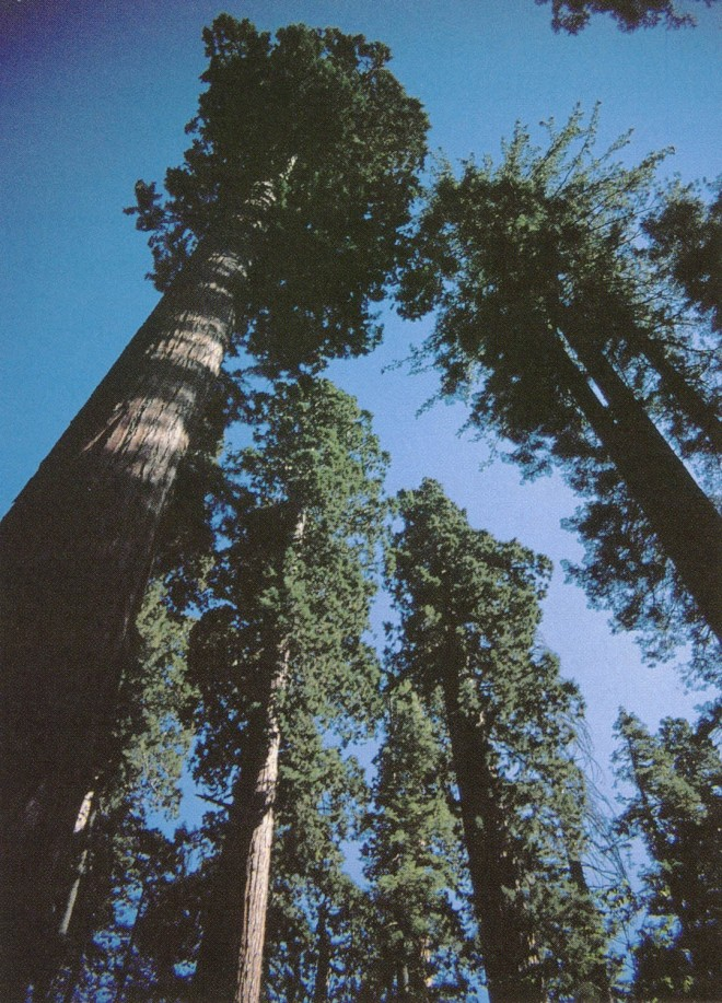 A towering grove of giant sequoias (Sequoiadendron giganteum) in Calaveras Big Trees State Park, California. Photograph by Dean Kelch