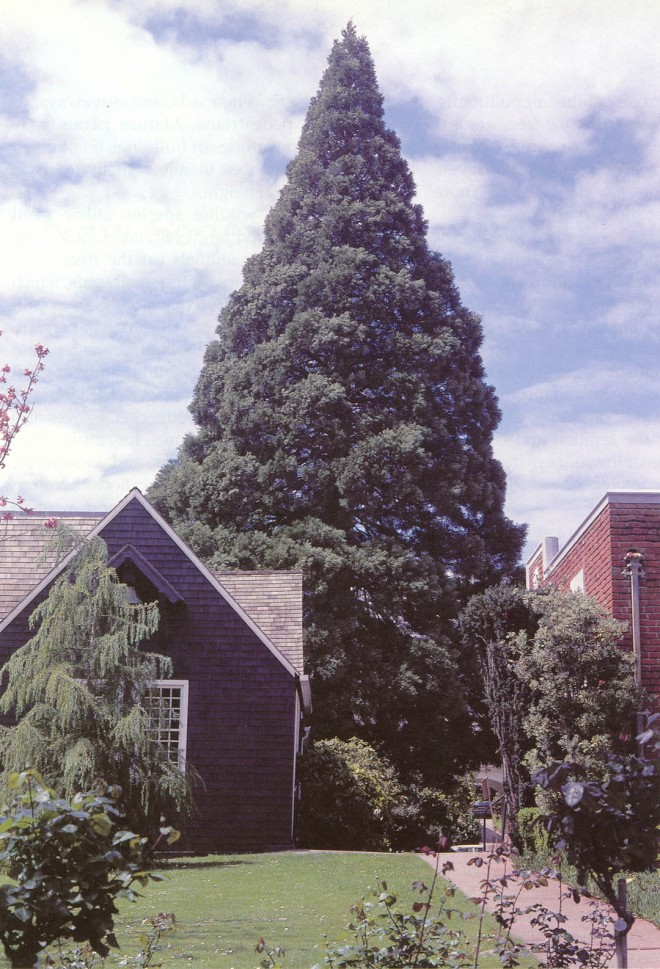 """A """"young"""" giant sequoia (Sequoiadendron giganteum) already towering over a small home in Berkeley. Photograph by RGT"""