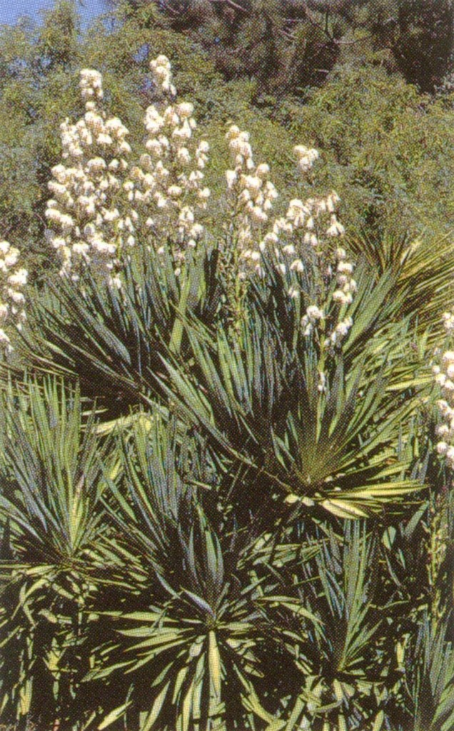 Agavaceae: Fleshy leaves and tall panicles of Yucca sp.
