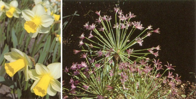 Amaryllidaceae: Basal leaves, inferior ovaries, and simple umbels of (left) Narcissus 'Cristobal' and (right) Brunsvigia sp.