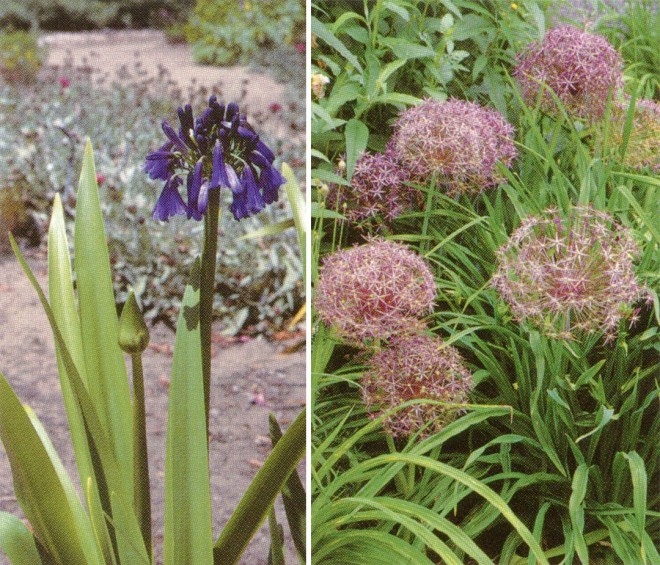 Alliaceae: Basal leaves, superior ovaries, and umbel of Agapanthus cv.