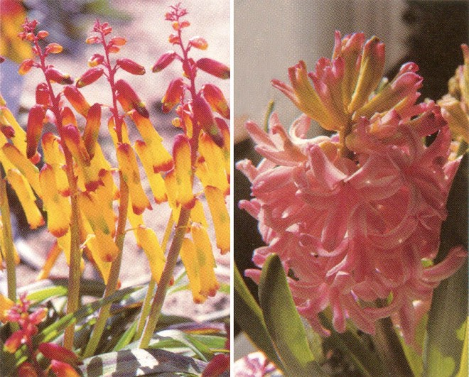 Hyacinthaceae: basal leaves and floral raceme of (left) Lachenalia aloides and (right) Hyacinthus cv.