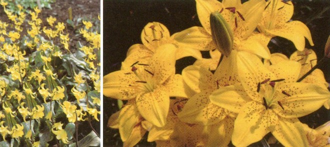 Liliaceae: erect stems and free tepals of (left) Erythronium 'Sundisc' and spotted, free tepals of (right) Lilium cv.