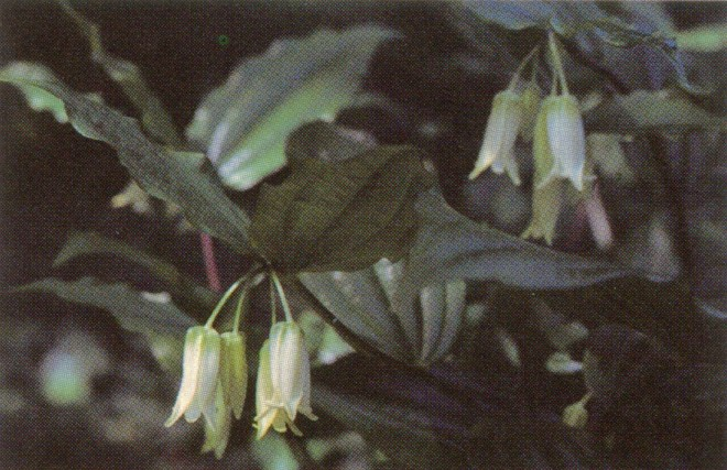 Uvulariaceae: Broad leaves and sparse panicles of Disporum smithii