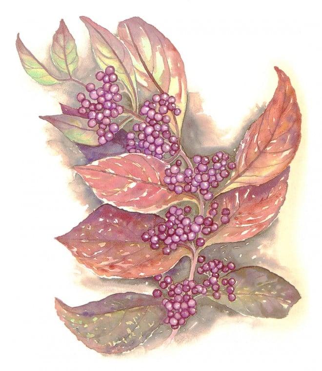 Callicarpa bodinieri 'Profusion'. Watercolor by René Eisenbart