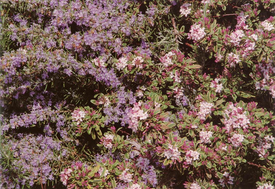 Daphne X Burkwoodii Carol Mackie With Rosemary Photograph By Baldare Mineo