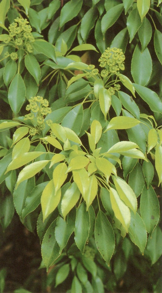 Foliage and flowers of Trochodendron aralioides