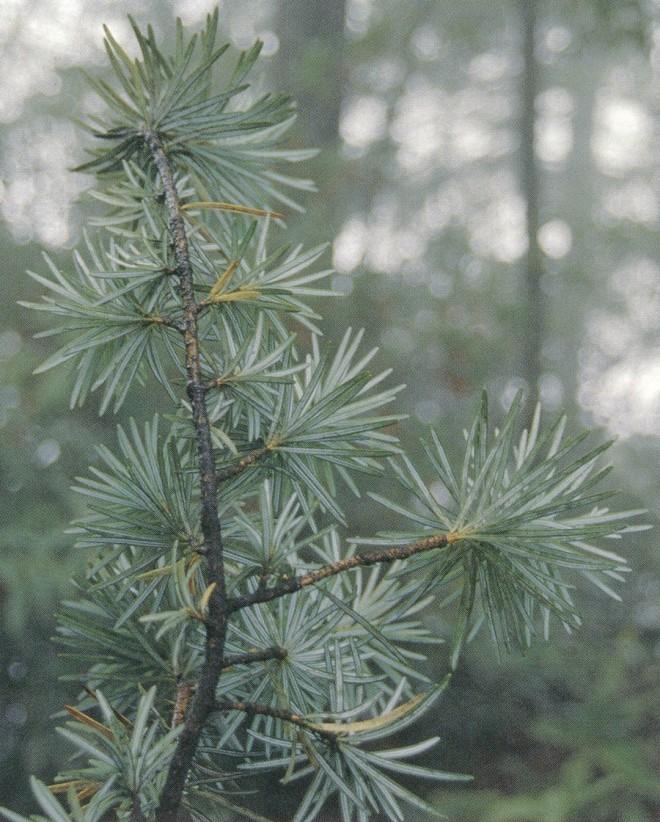 Foliage of Cathaya argyrophylla