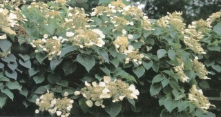 Schizophragma hydrangeoides 'Moonlight'. Photograph by Richard Hartlage