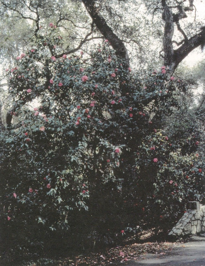 The natural form of Camellia reticulata 'Confucius'under the oaks at Descanso Gardens