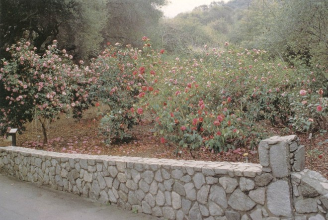 A bed of Camellia reticulata in full sun at Descanso Gardens. Author's photographs, except as noted
