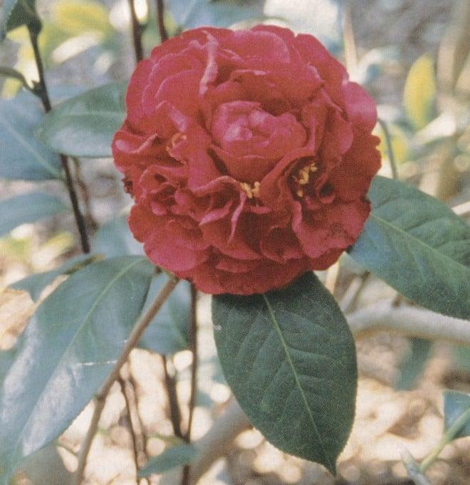 Camellia reticulata 'Harold L Paige'