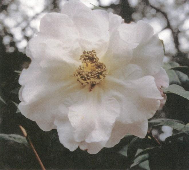 Camellia reticulata 'Chrissie's Retic'