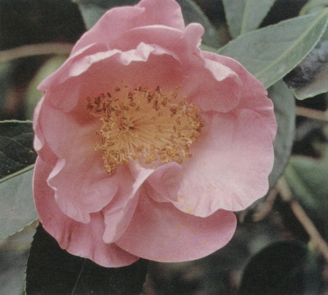 Camellia reticulata 'Star is Born'