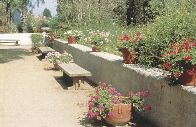Containers of colorful geraniums (Pelargonium peltatum) provide color through the heat of summer while most mediterranean plants are resting. (Rancho Los Alamitos, Long Beach)