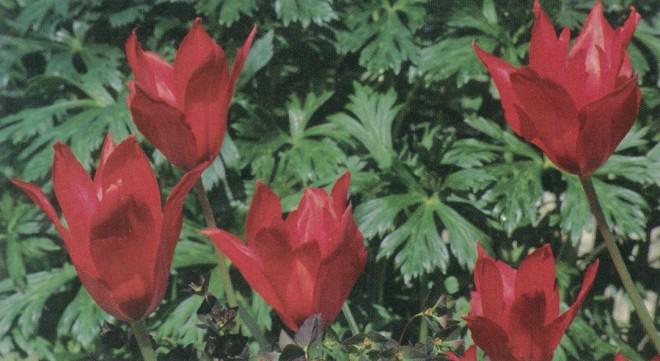 Tulipa vvedenskyi 'Tangerine Beauty'