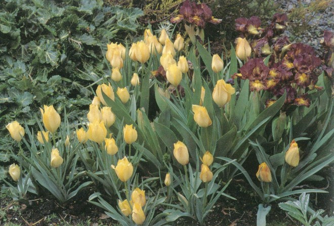 Tulipa batalinii 'Bronze Charm' with 'Firestorm', a dwarf bearded iris